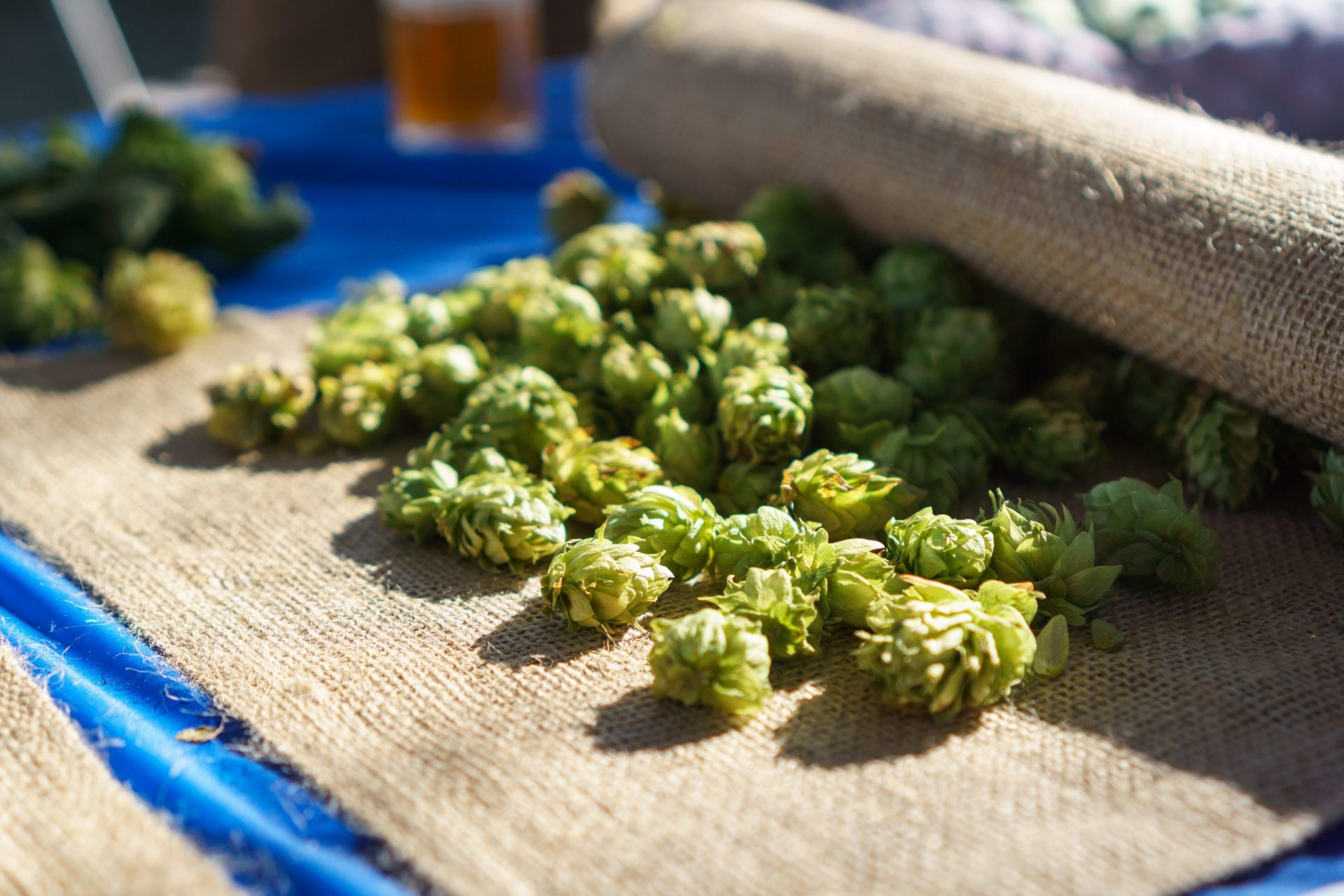 hops used in beer