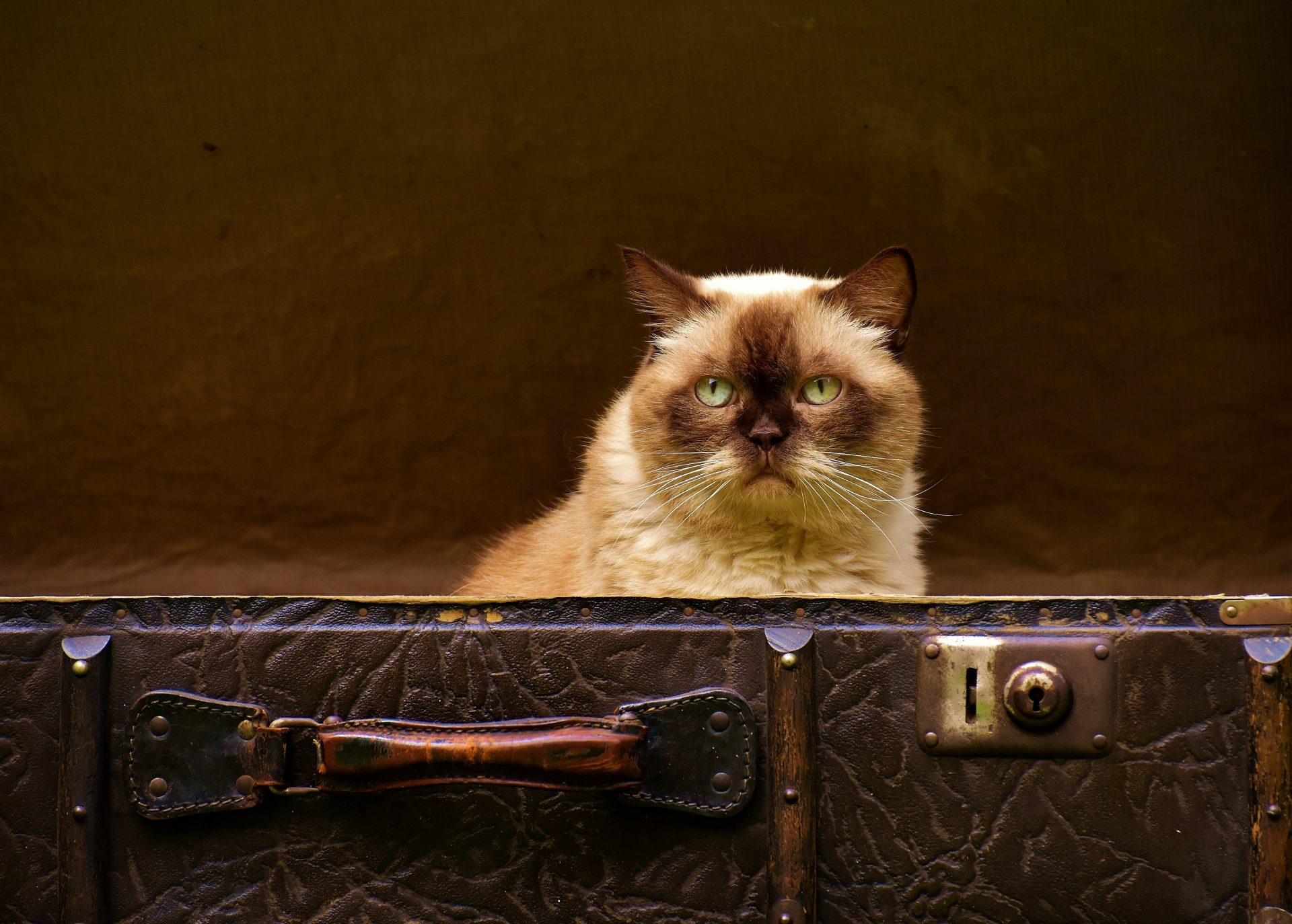 cat and luggage